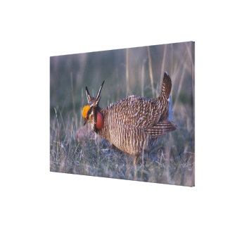 Lesser Prairie-Chicken, Tympanuchus Gallery Wrap Canvas