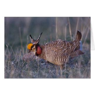 Lesser Prairie-Chicken, Tympanuchus Card