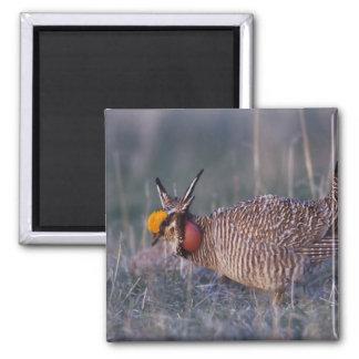Lesser Prairie-Chicken, Tympanuchus Refrigerator Magnet
