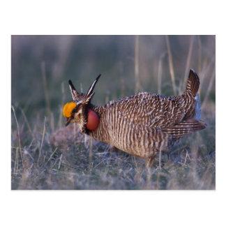 Lesser Prairie-Chicken, Tympanuchus Postcard