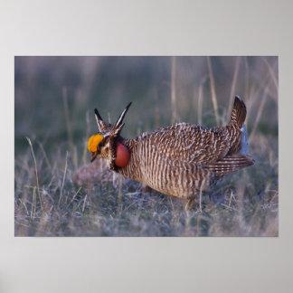 Lesser Prairie-Chicken, Tympanuchus Poster