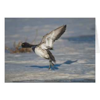 Lesser Scaup Duck taking flight from icy tule lake Card