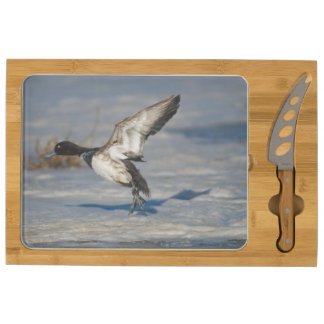 Lesser Scaup Duck taking flight from icy tule lake Cheese Platter