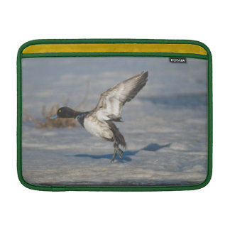 Lesser Scaup Duck taking flight from icy tule lake MacBook Air Sleeve