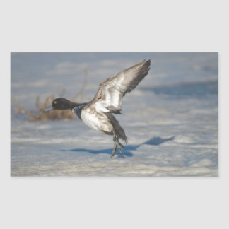 Lesser Scaup Duck taking flight from icy tule lake Rectangular Sticker