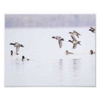 Lesser Scaups Ducks on the Bay Photo Print