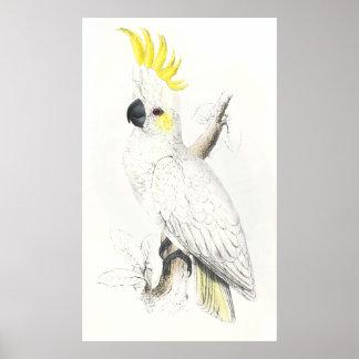 Lesser Sulphur-Crested Cockatoo by Edward Lear Print