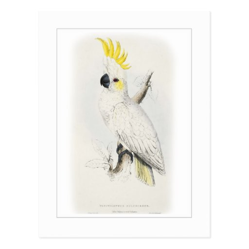 Lesser sulphur-crested cockatoo postcards