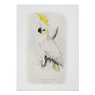 Lesser sulphur-crested cockatoo poster