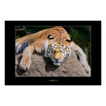 Let Sleeping Tigers Lie Poster