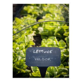 Lettuce Valdor Postcard