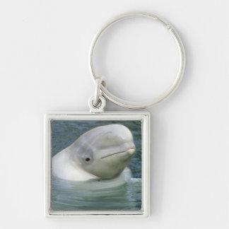Leucas de la ballena, del Delphinapterus de la bel Llavero Cuadrado Plateado