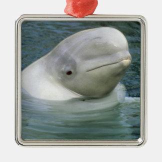 Leucas de la ballena, del Delphinapterus de la Adorno Cuadrado Plateado