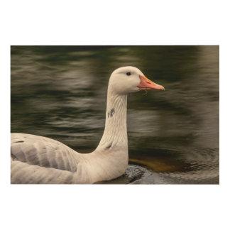Leucistic Canadian Goose Wood Print