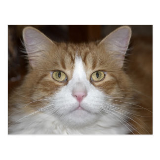 Levante el gato de coon nacional de Maine del Postal