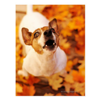 Levante Russell Terrier que raspa y que salta, Postales