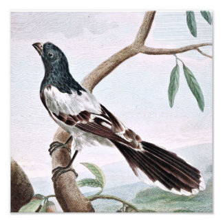 Leverian Shrike Bird Vintage Painting Photo