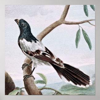 Leverian Shrike Bird Vintage Painting Posters