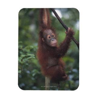 Liana que sube del bebé del orangután imanes flexibles