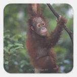 Liana que sube del bebé del orangután calcomanías cuadradass