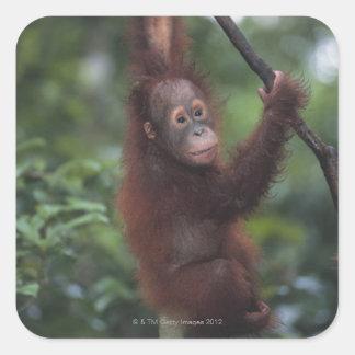 Liana que sube del bebé del orangután pegatina cuadrada