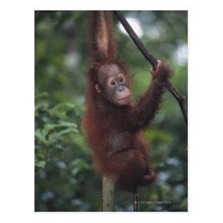 Liana que sube del bebé del orangután tarjeta postal