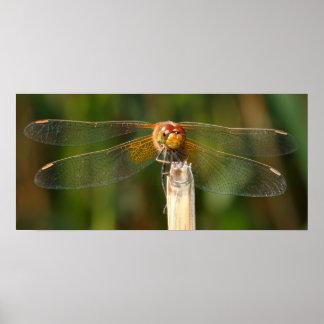 libélula Amarillo-coa alas del Darter Póster