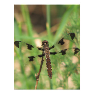 Libélula Anisoptera Infraorder