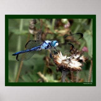Libélula azul de las libélulas en una foto de la c póster