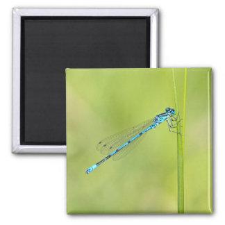 Libélula azul, imán del damselfly, idea del regalo