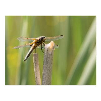 libélula Cuatro-manchada del cazador Postales