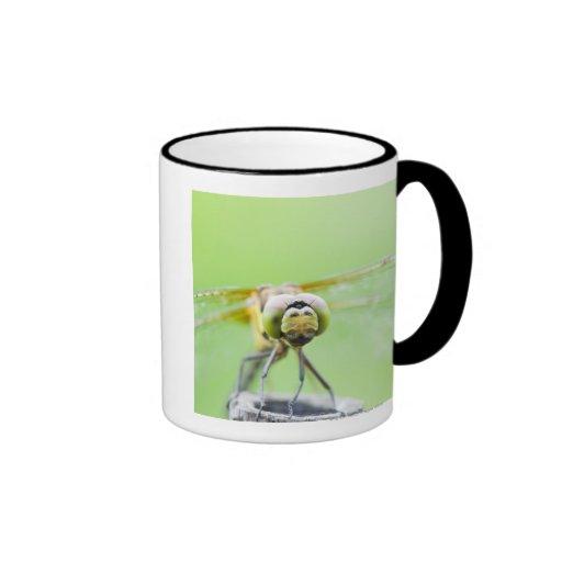 Libélula (infuscatum de Sympetrum) Tazas De Café