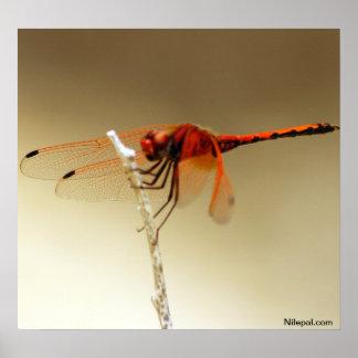 libélula roja póster