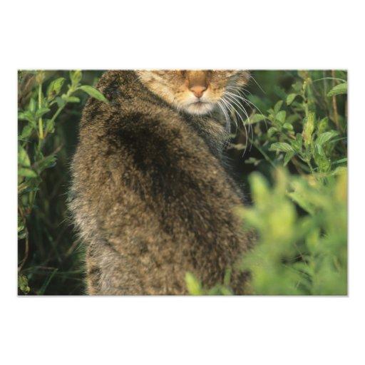 Libyca salvaje africano del gato, del Felis), ante Fotografías