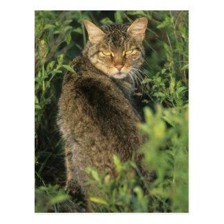Libyca salvaje africano del gato, del Felis), ante Tarjetas Postales