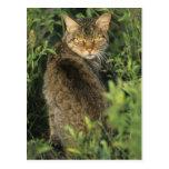Libyca salvaje africano del gato, del Felis), Postales