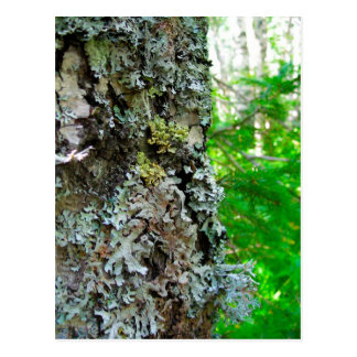 Lichens on the trunk of a birch postcard