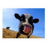 Lickin' cow postcard