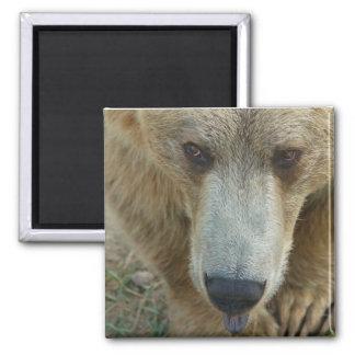 Licking Bear Magnet