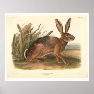 Liebres de California por Audubon (0177A) Póster