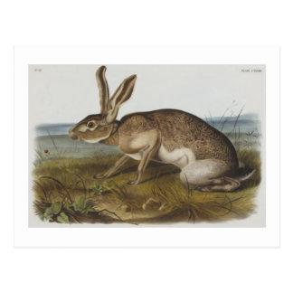 Liebres de Texian de Audubon Postales