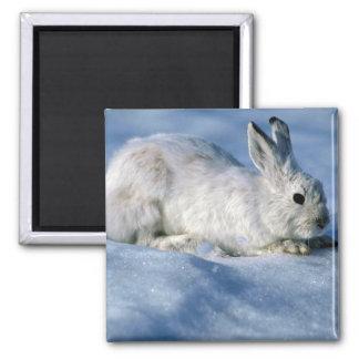 Liebres de variación/conejo de raqueta en nieve ab imán