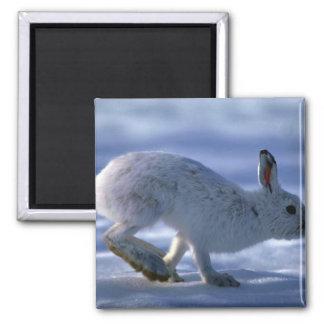 Liebres de variación/conejo de raqueta que corre a iman de frigorífico
