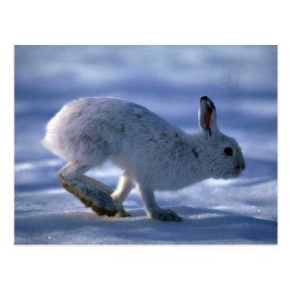 Liebres de variación/conejo de raqueta que corre a postal