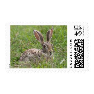 Liebres del cabo, área de la protección de sello postal