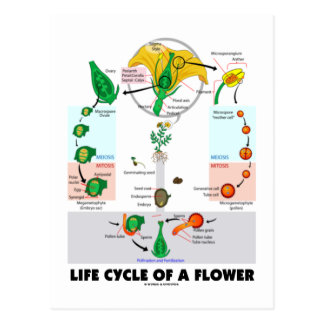 Life Cycle Of A Flower (Angiosperm) Postcard