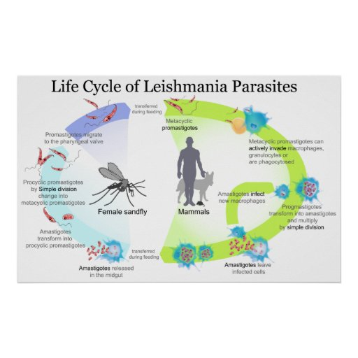 Life Cycle of Parasites from Genus Leishmaniasis Poster