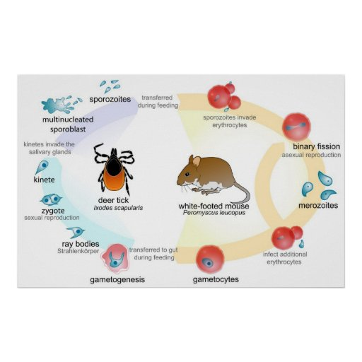 Life cycle of the Parasite Babesia Poster