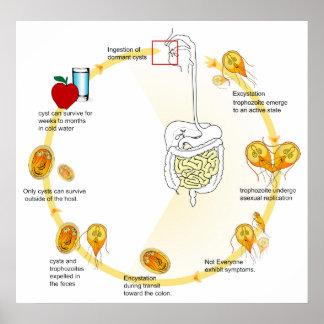 Life Cycle of the Parasite Giardia Lamblia Diagram Poster