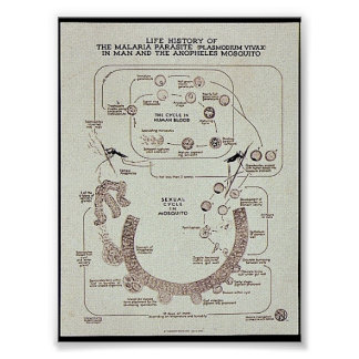 Life History Of The Malaria Parasite Plasmodiume V Poster
